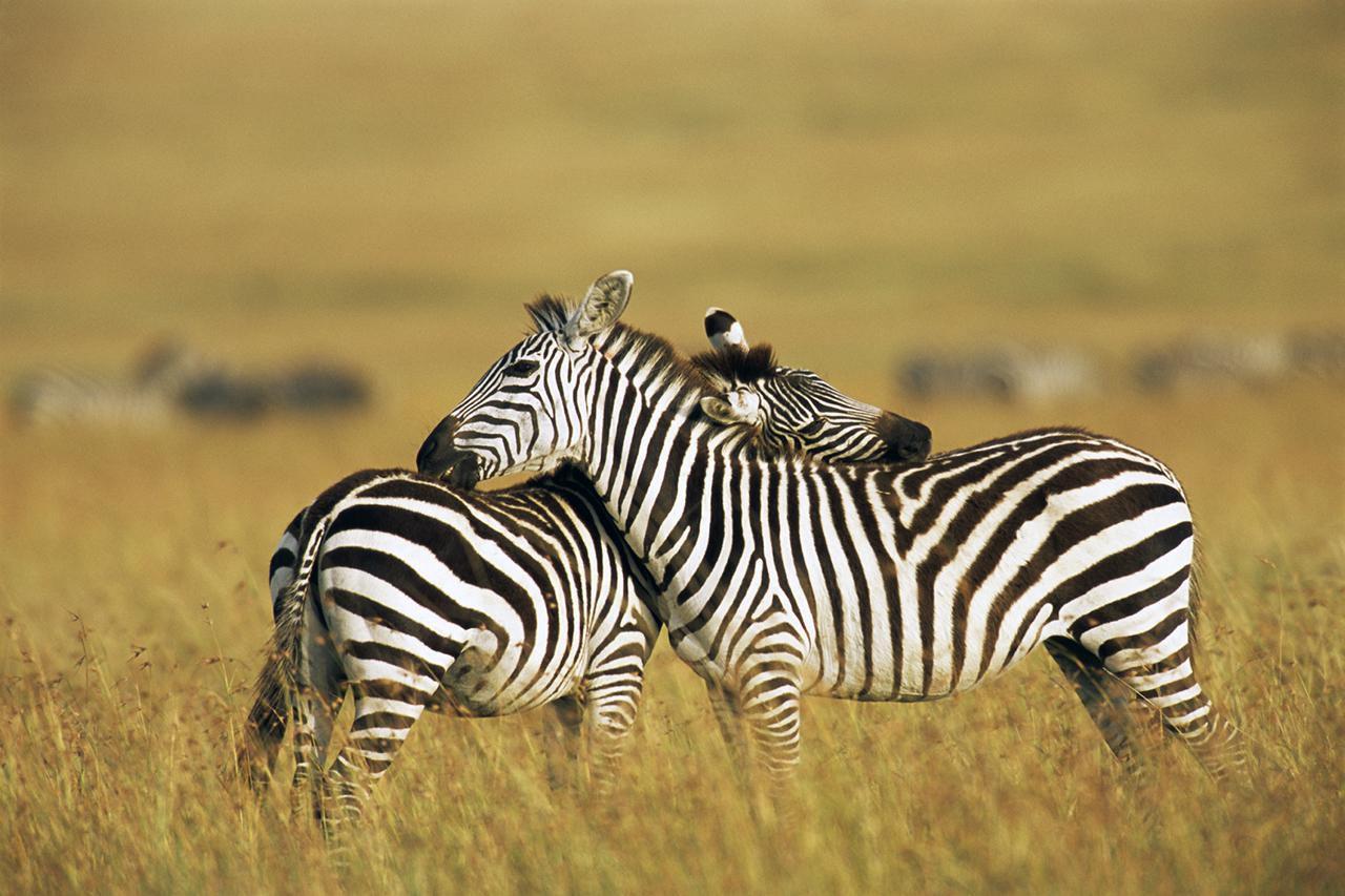 insurance zebra photo - 1
